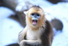 Golden monkey (floridapfe) Tags: cute animal zoo monkey golden nikon korea everland goldenmonkey