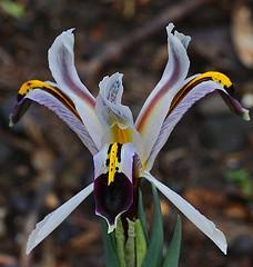 Iris rosenbachiana from Sogor Lake, Afghanistan. (Rainbirder) Tags: irisrosenbachiana rainbirder