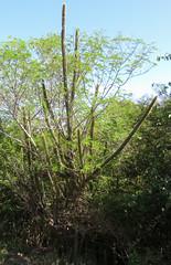IMG_1815 (jaglazier) Tags: trees cactus plants grass islands landscapes january brush grenadines bushes deciduoustrees 2014 1814 saintvincentandthegrenadines copyright2014jamesaglazier cambelspath