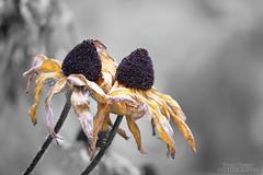 It Takes Two (Jenny Onsager) Tags: flowers fall nature canon fallcolors blackeyedsusan selectivecolor yellowpetals mygearandme mygearandmepremium mygearandmebronze mygearandmesilver mygearandmegold jennyonsager