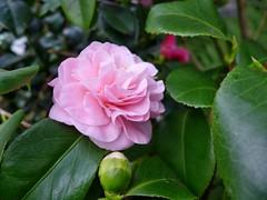 Kamelie - on Explore 19. Feb. 2014  # 326 (mama knipst!) Tags: flower fleur natur camelia camellia blume kamelie