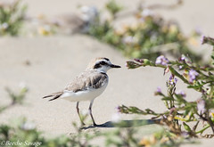 Western Snowy Plover (male) (NatureNation) Tags: droh dailyrayofhope
