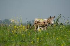 floral donkey (TARIQ HAMEED SULEMANI) Tags: travel winter pakistan tourism trekking photography nikon sensational punjab soe tariq supershot sulemani tariqhameedsulemani