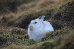 Mountain Hare taking shelter (Markp33) Tags: