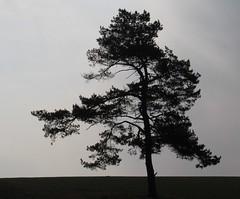(Gerlinde Hofmann) Tags: germany thuringia village conifer pinetree harras greysky nobw nadelbaum pine kiefer leite