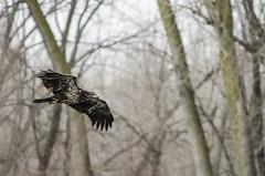 Young Bald Eagle (Vionent) Tags: winter dog black minnesota st paul nikon eagle wildlife young bald f45 300mm refuge edif d7000
