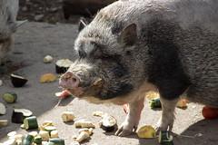 IMG_3280 (Lu Widmaier) Tags: light beautiful animal closeup contrast canon germany munich photography eos rebel zoo pig europe close wildlife dslr 600d