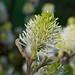 Dwarf Fothergilla Male Flower