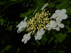 Spring flowers (tquist24) Tags: flowers flower macro spring nikon indiana elkhart nikoncoolpixaw100