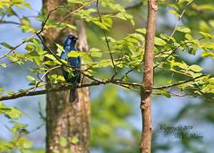 Indigo Bunting (1 of 4) at Duke Farms in Hillsborough NJ (takegoro) Tags: blue nature birds animals wildlife indigo sanctuary naturepreserve bunting indigo bunting dukefarms nj hillsborough