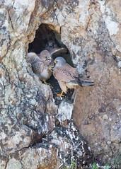 Hi Karate (K_D_B 2 Million views. Thanks) Tags: cliff canon adult nest chick pembrokeshire kestrel kdb 7dmkii tamronsp150600mmf563divcusda011