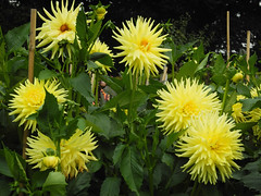 Sunny yellow (~~Nelly~~) Tags: dahlia yellow jaune geel mechelen vrijbroekpark