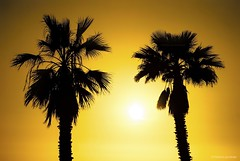 Sky of gold.... (Joe Hengel) Tags: danapoint darkness goldenhour golden glow gold yellow palmtrees palmtree palm palmfronds fanpalm california ca orangecounty oc outdoor theoc tree trees sky winter evening eveninglight eveningskies silhouette silhouettes socal southerncalifornia sunset capobeach capistranobeach goldenstate skyofgold