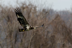 Eagle 2017 (Man_K5) Tags: eagle baldeagle sky usa maryland scenic bird conowingo darlington bif birdinflight nikond7000 sigma150500 telephoto wildlife raptor