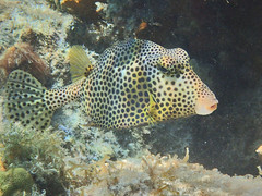 Spotted Trunkfish (Jwaan) Tags: spotted trunkfish tail fan dots bvi britishvirginislands usvirginislands caribbean westindies underwater ocean sea coral eyes
