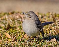 One in the Bush (brev99) Tags: bird tulsa tamron70300vc d610 bush hedge topazdetail colorefex highqualityanimals