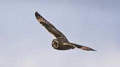 Jorduggla Short-eared Owl Asio flammeus (Bjorn Johansson) Tags: owls jorduggla shortearedowl asioflammeus