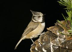Crested Tit (J J McHale) Tags: crestedtit lophophanescristatus scotland highlands wildlife nature