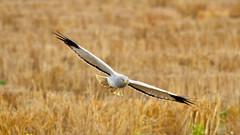 IMG_1256a (berserker170) Tags: aguiluchopalido naturaleza nature bird ave rapaz eos 7d 150500 sigma canon mohedaalta extremadura españa spain winter invierno flickrexploreme
