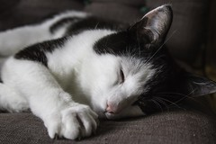 """""""Ah, c'est toi ... , j'ai tellement sommeil ! (ah, it's you... , I am so sleepy) (Larch) Tags: chat cat sleepy ensommeillé animal intérieur indoor canapé yeux eyes regard expression couch patte paw griffe claw sommeil dormir sleep oeil eye"""