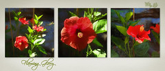 Flaming Glory (boeckli) Tags: triptych flowers pflanzen plants plant bloom blossom blüten blumen bunt farbig flower bright textures texturen blooms blossoms painterly colourful rahmen texture australia photoborder hibiscus hibiskus red rot flamingglory elné flora fleur blume nature garden colorful doublefantasy awardtree textur