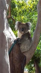 Sydney the Koala (chuck92000) Tags: koala tree gum l leaves green grey brown outside blue sky