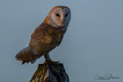 Evening Poser (jammo s) Tags: barnowl owl tytoalba wildowl wildbarnowl bird birdofprey wildbird post nature wildlife evening lightroom canoneos80d canonef400mmf56lusm