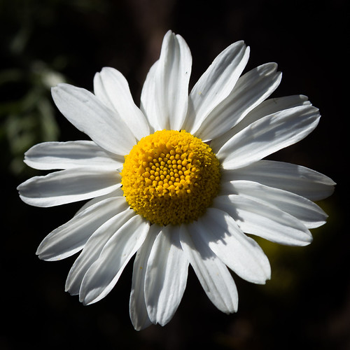 "Daisy, Inverewe Gardens • <a style=""font-size:0.8em;"" href=""http://www.flickr.com/photos/69544236@N04/8750346855/"" target=""_blank"">View on Flickr</a>"