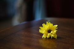 Loveliness of a Daisy (Xenotar28) Tags: flower window yellow backlight reflections table curtain flash daisy bounced metz54mz4 leftwall 132ndpower