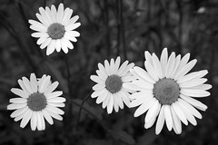 daisy float (Clay Percy) Tags: flowers urban bw detail blackwhite daisy stillife urbanlandscape d600