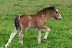 Spring Foal (Ben Wink Photography) Tags: uk england horse baby brown male green grass yellow photography born suffolk spring nikon warm purple ben first wink foal d90 daysold