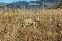 168 - Coyote (Scott Shetrone) Tags: coyote animals events places yellowstonenationalpark mammals 7th anniversaries wymoing