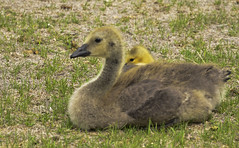 Protecting Her Baby (fromky) Tags: baby love wildlife mother goose riverroad