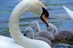 Swan with cygnet (imagesmjm) Tags: bird nature animal wildlife duckling cygnet hampshire lakeside eastleigh