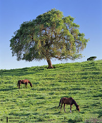 Harmony (James L. Snyder) Tags: california ranch two horses usa brown sunlight foothills tree green grass vertical rural spring oak quercus soft mare peace afternoon native country hill smooth relaxing restful peaceful tranquility sunny bluesky 2006 calm clear sleepy lazy pasture valley harmony serenity bayarea trunk april paloalto verdant serene openspace cloudless lush elegant deciduous hillside delicate steed pastoral grassland refreshing graceful idyllic tranquil slope balanced stallion equine mellow bucolic luxuriant contentment comforting sidelighting statuesque santaclaracounty santaclaravalley treesonhills pagemillpastures coyotehillroad