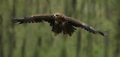 Tawny Eagle In Flight_DSC0986 (DansPhotoArt) Tags: bird nature fauna nikon eagle wildlife aves raptor passaros wbs tawnyeagle worldbirdsanctuary d7100