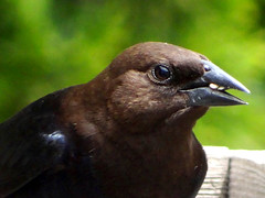 Jun11,2013f 058 Brown-headed Cowbird male (terrygray) Tags: brownheadedcowbird