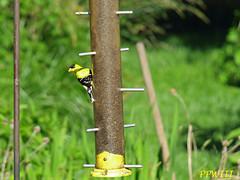 Finch (PPWIII) Tags: bird backyard finch muskegon nortonshores