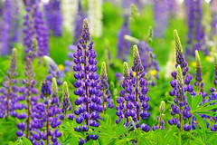 Fields of Lupine 2013 (KAM918) Tags: new field festival nikon hill nh hampshire sugar lupine lupines d3100