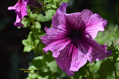 Purple flower (Pepe (ADM)) Tags: flowers flores flower nature purple flor fiori purpleflower fleure