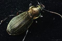 Carabus cancellatus DSC_6694 (achrntatrps) Tags: macro bug insect nikon photographer beetles insekten insecte käfer photographe coleoptera d4 radon carabidae nikkormicro105mmf28 laufkäfer coléoptères sb900 carabidés sb700 dellolivo carabuscancellatus alexandredellolivo achrntatrps achrnt atrps radon200226