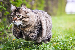 Fast & Curious (Corentin.Photographie) Tags: green ex grass cat canon photography eos photographie may fast sigma apo curious f28 dg 70200mm corentin hsm 2013 550d beaubery gouchon