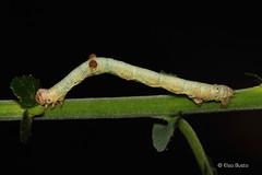 Hypomecis punctinalis - oruga (PITUSA 2) Tags: espaa macro canon alba galicia geometridae pitusa pontevedra animalia arthropoda larva oruga insecta hypomecis eiruga punctinalis elsabusto lspidoptera