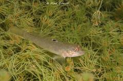 Neogobius melanostomus, (Round goby) (Max Danil) Tags: lake fish water nikon dive scuba fresh vegetation sunburst 1855mm nikkor plas goby duiken sunball toolenburg divinh ikelite grondel vorn toolenburgse d5100