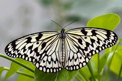 Rice paper buttefly (Rene Mensen) Tags: white black butterfly idea wings nikon lepidoptera mariposa schmetterlinge vlinder ricepaper paperkite 鱗翅目 나비목 チョウ目 d5100
