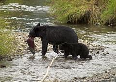 Mama Bear brings home the Sockeye at Steep Creek (Gillfoto) Tags: bear animal alaska cub rainforest salmon mendenhallglacier tongassnationalforest juneau blackbear sockeye mendenhall tongass greatnature raincountry steepcreek