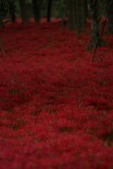 Kinchakuda where tons of red spider lily exist (Takashi(aes256)) Tags: red flower japan  saitama  higanbana     redspiderlily  kinchakuda  nikond5200 nikonaiafmicronikkor200mmf4difed