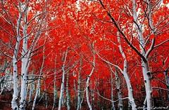 زيبايى رنگ سرخ (armanazad111) Tags: پاييز البوم ١