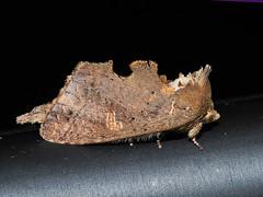 ?? (Green Baron Pro) Tags: moth borneo noctuidae brunei ulutemburong 201309