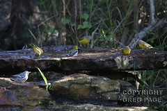Warblers bathing (gregpage1465) Tags: green bird nature photography photo woods bath texas greg nashville wildlife picture page blackthroatedgreenwarbler bathing sabine warbler dominica virens blackthroated nashvillewarbler ruficapilla yellowthroatedwarbler yellowthroated gregpage setophaga oreothlypis